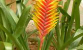 Egzotyczna roślina Frizea