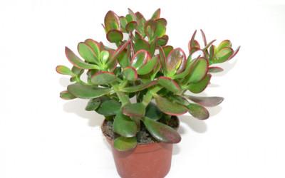 Roślina doniczkowa Grubosz jajowaty
