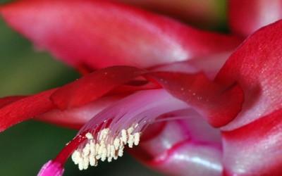 Kwiat szlumbergera